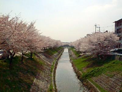 001 桜が満開です(奈良県奈良市)(2002/04/01up)