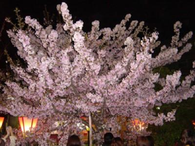 013 桜の通り抜け(大阪造幣局)(2005/04/14up)