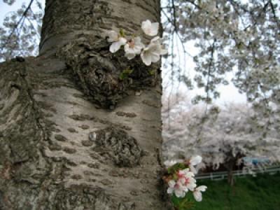 016 桜が満開です(2006年度版)(2006/04/18up)